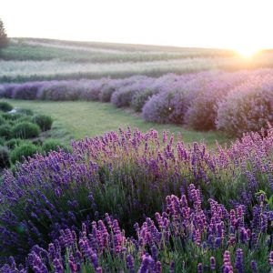 lavender, flowers, field-6398415.jpg